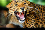 शिकारियों के जाल में फंसे तेंदुए को वन विभाग कराया मुक्त