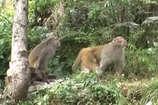 VIDEO: बंदरों के आतंक से परेशान हमीरपुर के लोगों ने छोड़ दी खेतीबाड़ी!