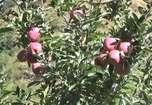 VIDEO: लेह, लद्दाख और करगिल में भी लहलहा रहे हैं नौणी विवि द्वारा तैयार सेब व अन्य पौधे