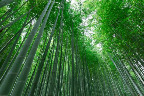 बांस का पेड़- बांस का पेड़ सबसे तेज बढ़ने वाला पेड़ या घास है. इसकी बढ़ने की स्पीड बहुत तेज होती है. बांस का पेड़ हवा को फ्रेश करने के काम में भी आता है. बताया जाता है कि बांस का पेड़ अन्य पेड़ों के मुकाबले 30 फीसदी अधिक ऑक्सीजन छोड़ता है.