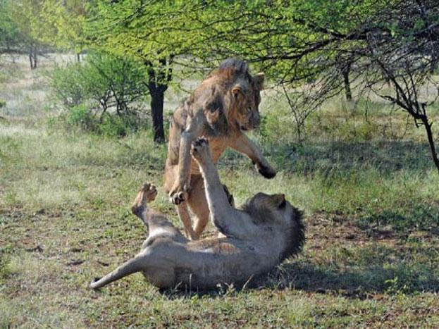 यह है गुजरात के सौराष्ट्र के दक्षिण-पश्चिम में स्थित गिर नेशनल अभयारण्य. यहां आपको शेर यूं ही अठखेलियां करते हुए दिख जाएंगे. (Photos : IndianDiplomacy Twitter Handle and girnationalpark.in)