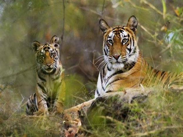 गिर के जंगल को साल 1969 में वन्य जीव अभ्यारण्य बनाया गया और 6 वर्षों बाद इसका विस्तार किया गया.