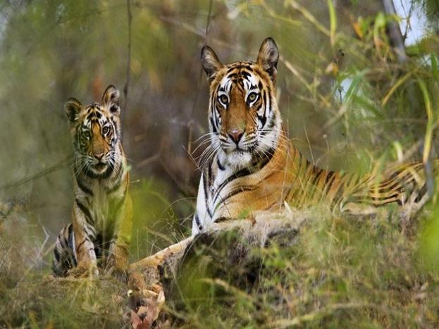 बांधवगढ़ नेशनल पार्क और कान्हा नेशनल पार्क में सैलानी बाघ और जंगल के बाकी जीवों को अपने प्राकृतिक पर्यावरण में देख सकते हैं. बाघ के साथ-साथ यहां पर तेंदुए, हिरण, सियार जैसे वन्यप्राणी भी देखने को मिलते हैं.