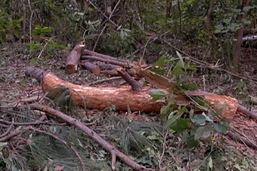 sandal wood tree cut down fri