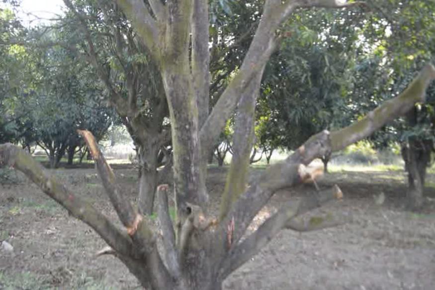 VIDEO : आम के पेड़ों पर फिर चली आरी, लकड़ी भी उठा ले गया माफिया