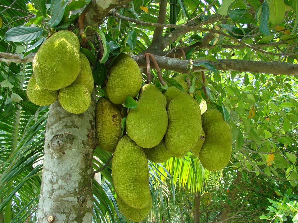 इस रेशेदार फल में आयरन की मात्रा बहुत अधिक पाया जाता है, जिससे यह एनीमिया के रोग में बहुत लाभदायक है.