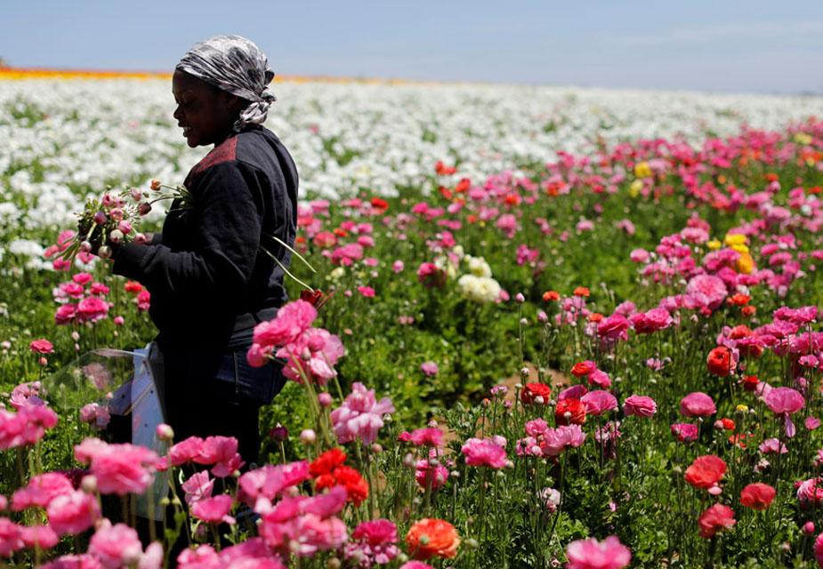 बगीचे की देखरेख करने वाली महिला की ये तस्वीर है जिसमें आप देख सकते हैं कि वो फूलों को तोड़ रही है. (image credit: Reuters)