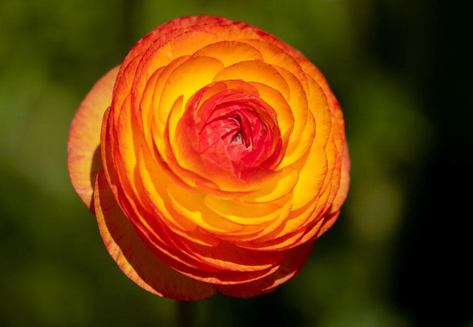 कैलिफोर्निया के कार्ल्सबैड बगीचे में खिले रेननकुलस फूल की ये खूबसूरत तस्वीर है.(image credit: Reuters)