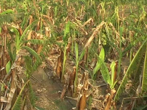 कवर्धा जिले में हुए बेमौमस बारिश और आंधी तुफान ने किसानों की कमर तोड़ दी है. तुफान से केले की फसल पूरा तरह से बर्बाद हो गई.
