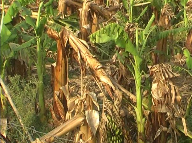 लोहारा क्षेत्र के ग्राम सिंघनगढ़ सहित आधा दर्जन गांवों के ढाई सौ एकड़ केले की फसल तबाह हो गई है.
