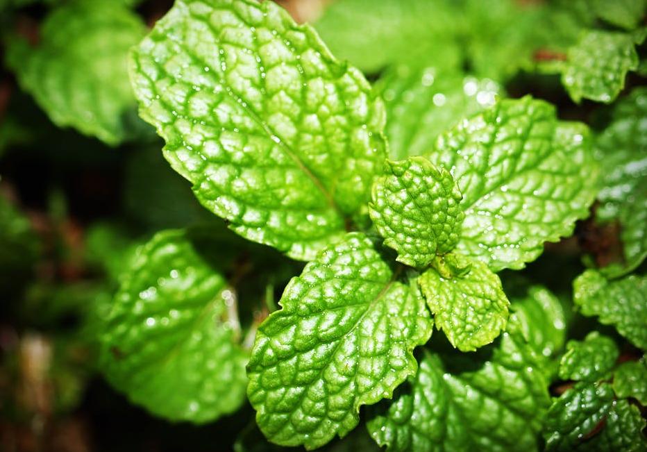 पुदीना एक ऐसी औषधी है जिसे अगर आप खाने में शामिल करते हैं तो डिप्रेशन के शिकार होने से बच सकते हैं. ये दिमाग को शांत कर आपके शरीर को ठंडा रखने में मदद करता है. pic credit: pexels.com
