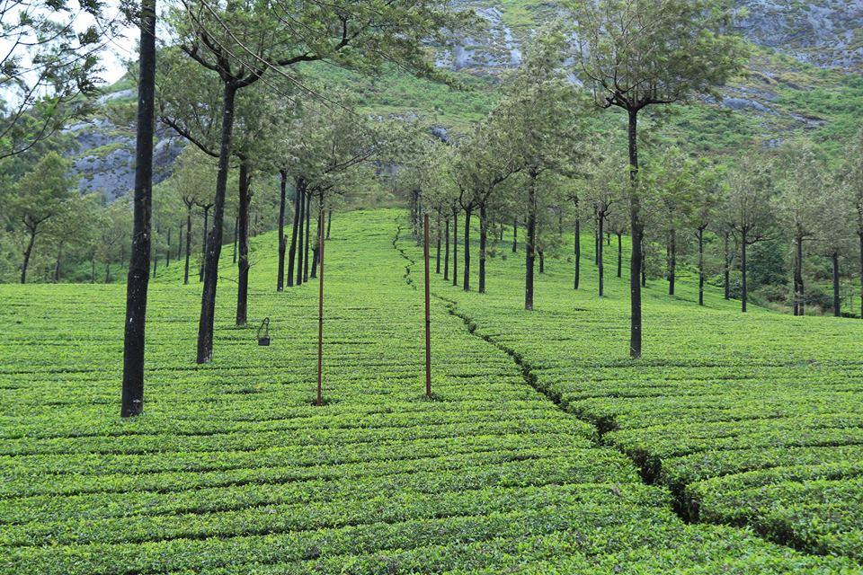 यहां बने चाय संग्रहालय भी जरूर जाएं. मुन्नार में जब पहली बार 1880 में चाय का उत्पादन किया गया था, तब की कई निशानियां रखी गई हैं. यहां कई ऐतिहासिक तस्वीरें भी लगी हुई हैं.