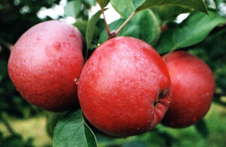 7. वजन को नियंत्रित करने के लिए भी सेब का नियमित इस्तेमाल फायदेमंद होता है.