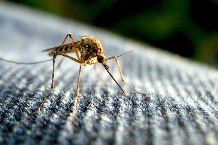 बारिश के मौसम में कई बीमारियां फैलती हैं. इनमें से एक डेंगू, चिकनगुनिया और मलेरिया भी है. ये तीनों ही बीमारियां कई बार व्यक्ति की जान तक ले सकती हैं. बारिश में जहां पानी इकट्ठा होता है वहीं मच्छर पैदा होते हैं. ऐसे में ये मच्छर इन बीमारियों को जन्म देते हैं. आज हम आपको बताने जा रहे हैं मलेरिया, चिकनगुनिया और डेंगू जैसी बीमारियों से छुटकारा पाने के घरेलू नुस्खे, जिन्हें आप अपना सकते हैं. लेकिन फिर भी आपको इसके लिए एक बार डॉक्टर की सलाह लेनी जरूरी है.