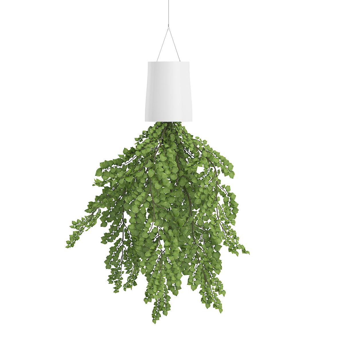 1. आइवी पौधा लगाने के कुछ घंटों के भीतर ही हवा को शुद्ध करने लगता है. यह हवा में मौजूद कीटाणुओं का नाश कर देता है.