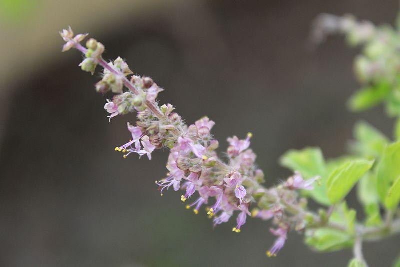 4. तुलसी की पत्तियों में एंटी-बैक्टीरियल गुण पाया जाता है. इससे मां और गर्भ में पल रहे बच्चे दोनों ही को संक्रमण होने का खतरा कम हो जाता है.