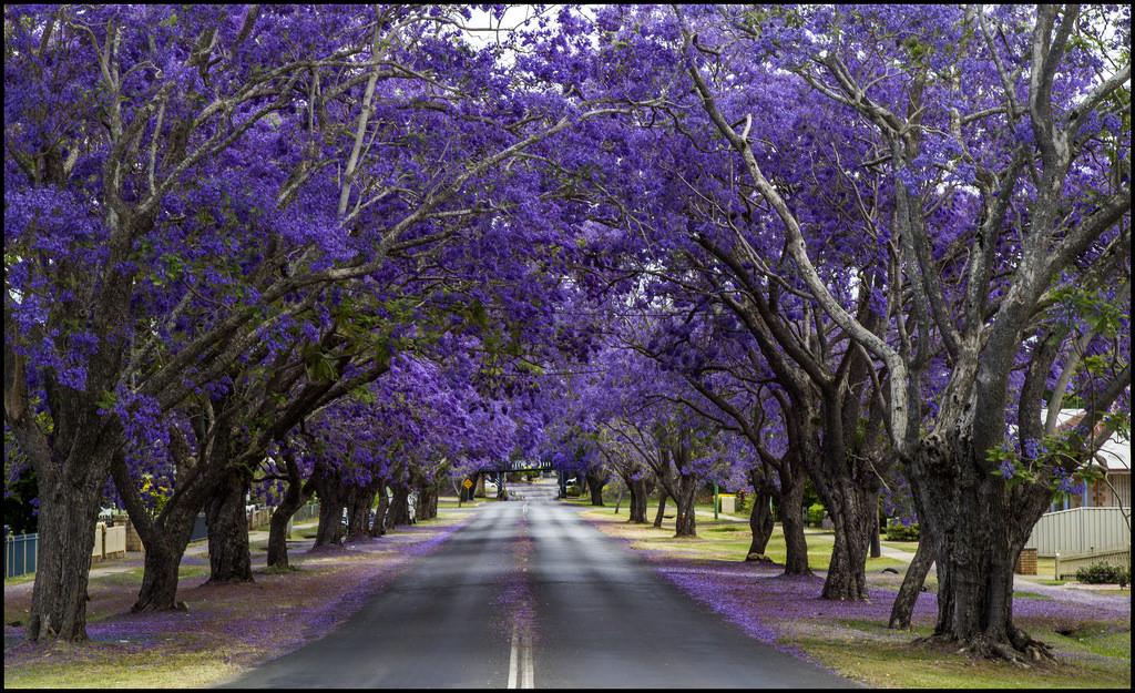 आस्ट्रेलिया के शहर ग्राफ्टन में स्थित पाउंड स्ट्रीट को जैकरांडा एवेन्यु के नाम से पहचाना जाता है. यहां की सड़कें बड़ी तादाद मे लाइलेक के फूलों से लदी हुई है. बैंगनी रंग के ये फूल इस रास्ते को और सुंदर बना देते हैं.