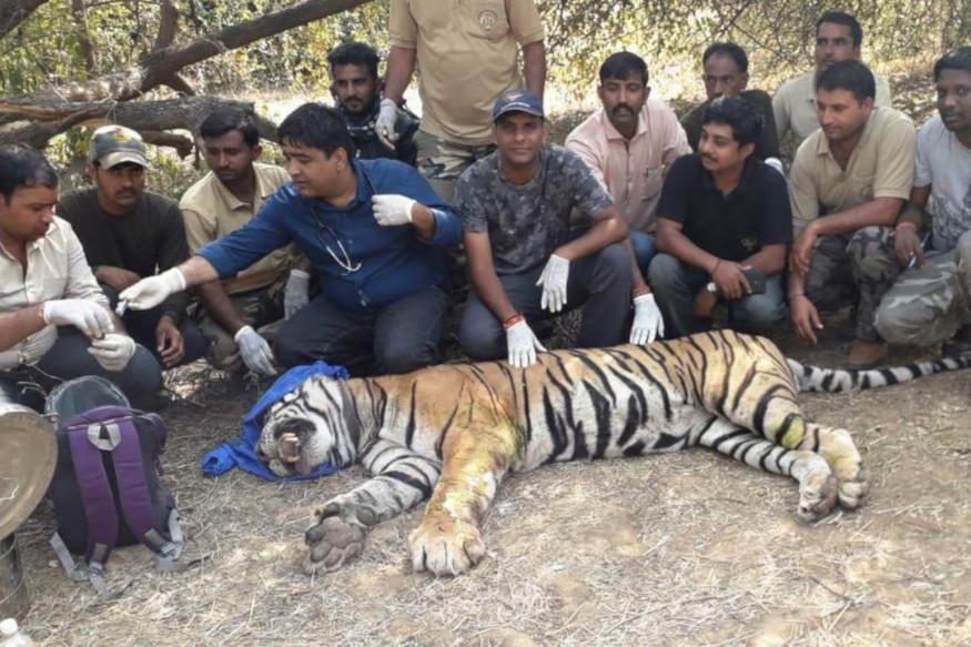 tiger Injured