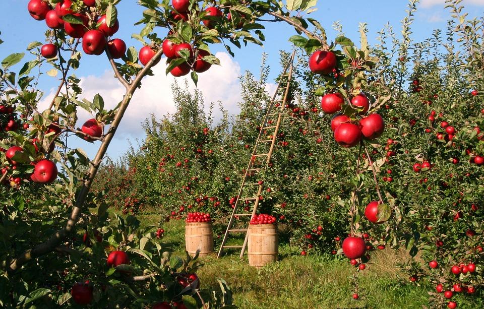 हालांकि वैक्स लगने के बाद सेब को खाने से कई तरह की दिक्कतें सामने आती हैं, जिसमें से एक anaerobic respiration है. ये परेशानी इसलिए होती है क्योंकि वैक्स लगने के बाद फ्रूट ऑक्सीजन बैरियर की तरह काम करती है. वैक्स लगने के बाद सेब की क्वालिटी का भेष भी लगभग बदल जाता है. लेकिन इससे उसके स्वाद पर भी फर्क पड़ता है.