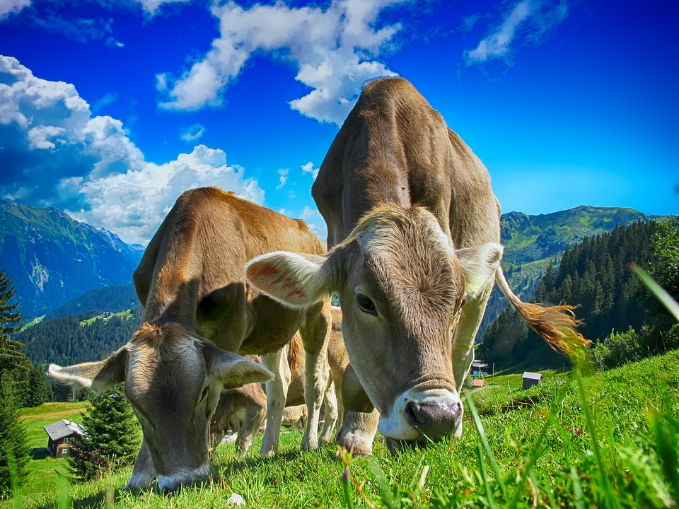 इजराइल में पहला मॉडर्न डेरी फार्म 'मिकवेह इजराइल एग्रीकल्चर स्कूल' 1880 में स्थापित हुआ था. वर्तमान में वहां 940 फार्मस में मिल्क प्रोड्यूस किया जा रहा है. वहां कीगाय की Holstein ब्रीड सबसे अच्छी मानी जाती है. ये प्रजाती Israeli genetic improvement सिस्टम के तहत डेवलप की गई थी.
