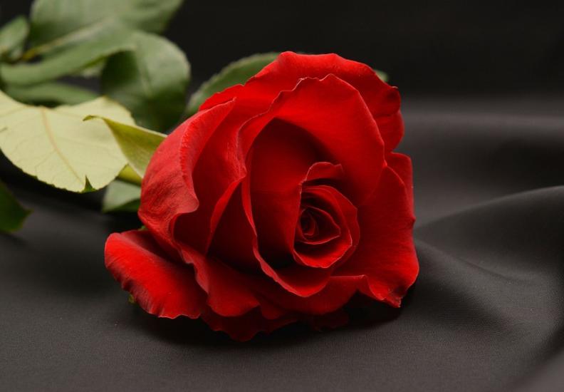 लाल गुलाबः रोज डे पर लड़का-लड़की एक-दसूरे को लाल गुलाब देकर अपने प्यार का इज़हार करते हैं. लाल गुलाब प्रेमी को दिया जाता है. इसे प्यार का प्रतीक माना जाता है.