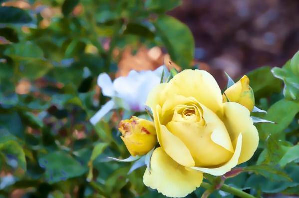 पीला गुलाबः ये गुलाब दोस्ती का प्रतीक होता है. इसे आप अपने दोस्त को दे सकते हैं. या फिर अगर आप किसी से दोस्ती करना चाहते हैं तब भी ये गुलाब उसे दे सकते हैं.