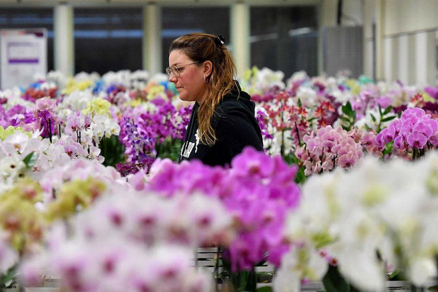 दुनिया में एक दिन में बिकने वाले फूलों में का आधा हिस्सा हॉलैंड की मंडियों से ही सप्लाई किया जाता है. तीन बड़े ऑक्शन के बाद 11 को-ऑपरेटिव नीलामी होती है. यह बिक्री वैसे ही होती है जैसे स्टॉक एक्सचेंज का काम होता है. इसलिए हॉलैंड को वॉल स्ट्रीट ऑफ फ्लावर्स भी कहा जाता है.