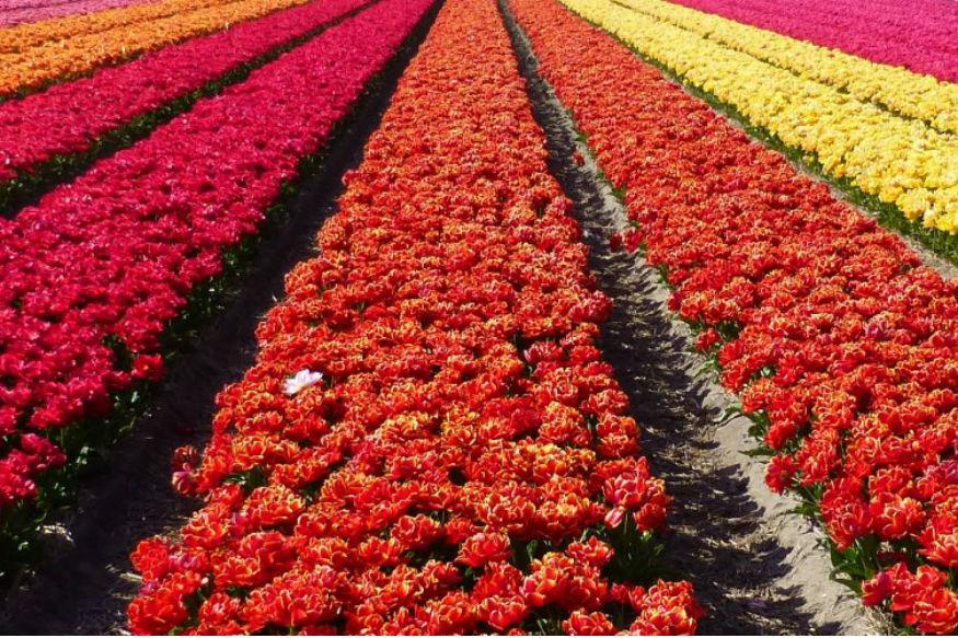 सबसे ज्यादा बिकने वाले फूलों में ट्यूलिप, क्रोकस और हायसिंथ हैं जो पतझड़ से लेकर गर्मियों तक बिकते हैं. इसके अलावा गुलाब भी काफी बिकता है. 2017 में 1000 तरह के 3.3 अरब (कुल बिक्री का 28 प्रतिशत) गुलाबों की कुल बिक्री यहां पर हुई थी.