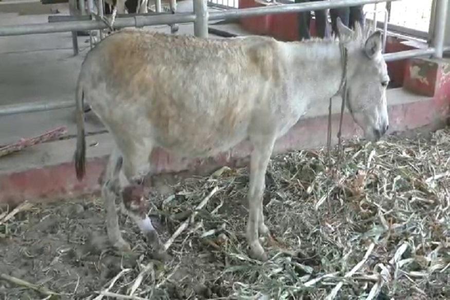 donkey cancer