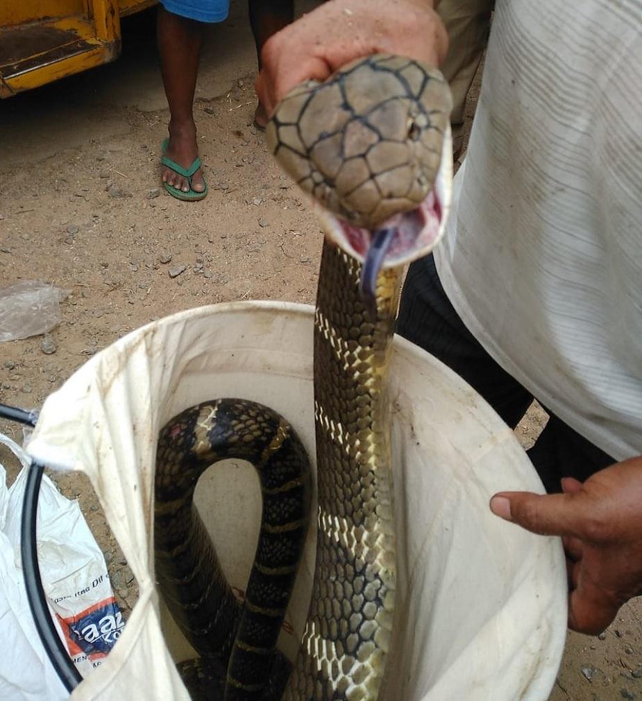ओडिशा के रायगढ़ में 12 फीट लंबा एक कोबरा मिला है. यह कोबरा बुधवार को सेशाखल इलाके में सीआरपीएफ कैंप से मिला है. जिसे देखते ही वहां मौजूद लोगों के होश उड़ गए. इसकी जानकारी वन विभाग की टीम को दी गई, जिसके बाद विशेषज्ञों की मदद से उसे पकड़ा जा सका.