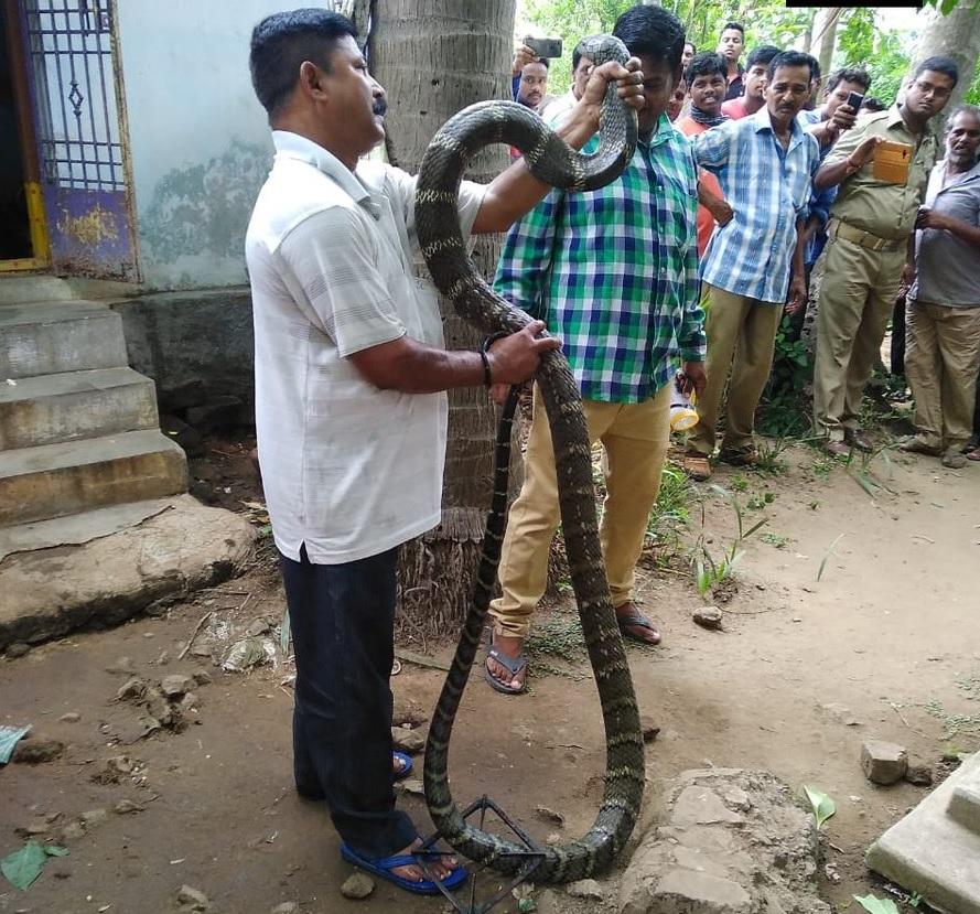कोबरा की लंबाई देख सीआरपीएफ कैंप मौजूद जवानों के होश उड़ गए. वन विभाग के कर्मचारियों ने कड़ी मशक्कत के बाद कोबरा को पकड़ा और वापस गुमा के जंगल में छोड़ दिया.