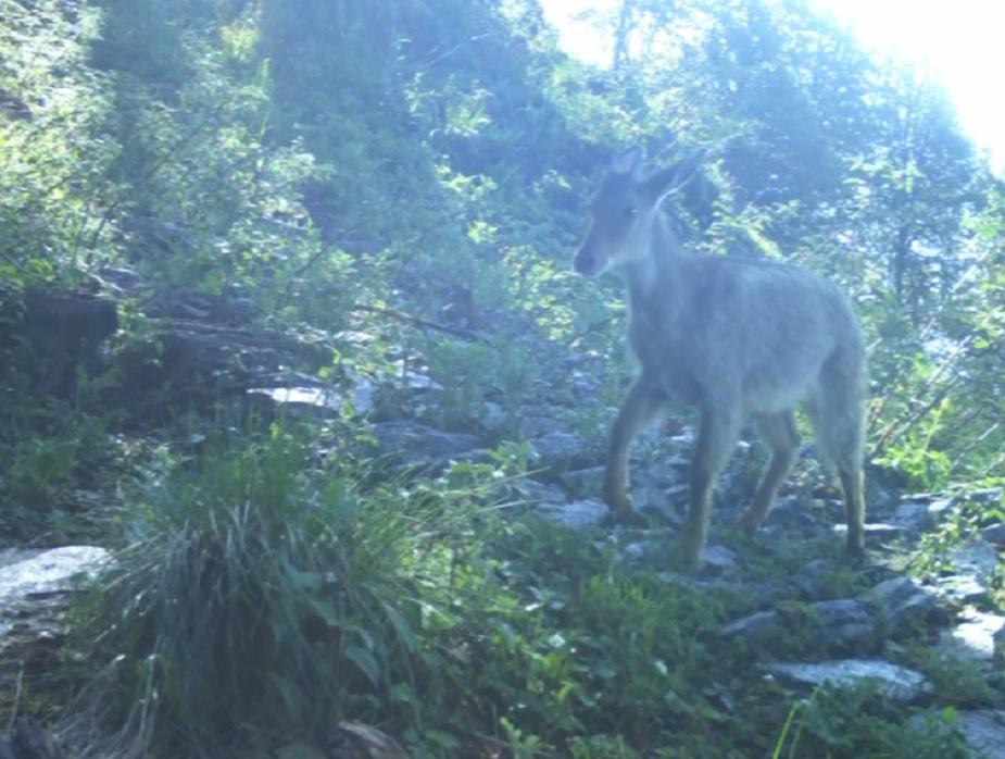 इसी तरह लुप्तप्रायः कस्तूरी हिरन की तस्वीर भी ट्रैप कैमरे में आई है. इससे वन विभाग में खुशी और उत्साह है.