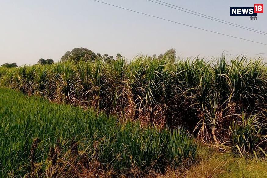 India Water Crisis, water crisis, Rice, Sugar, Jeans, NITI Aayog, water consumption in agriculture, Haryana government discourage paddy crop, Save water, crop diversification, groundwater level, भारत में जल संकट, जल संकट, चावल, चीनी, जीन्स, नीति आयोग, कृषि में पानी की खपत, धान की फसल को डिस्करेज कर रही है हरियाणा सरकार, पानी बचाओ, फसल विविधीकरण, भूजल स्तर, Sugarcane, cotton, गन्ना और कॉटन