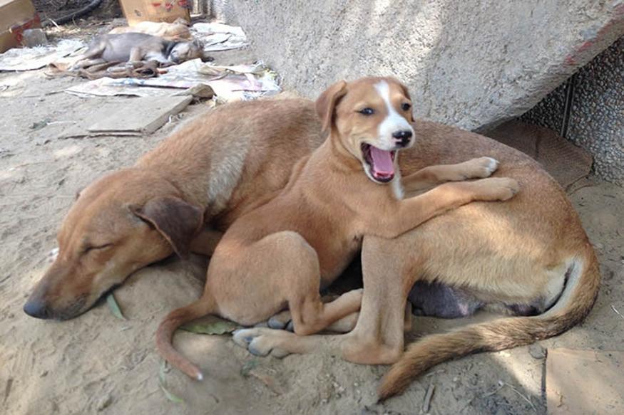 बेंगलुरु के पशु कल्याण अधिकारी के हरीश ने कहा कि इस बात से हम इनकार नहीं कर सकते कि पहले भी कुत्तों के मांस को बेचने के मामले सामने आते रहे हैं. अब दावा किया जा रहा है कि यहां भी कई इलाकों में कुत्ते के मांस बेचे जा रहे हैं. इस पूरी घटना की जानकारी पुलिस को दे दी गई है.