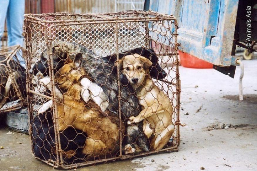 दरअसल बेंगलुरु में वीबीएचवी अपार्टमेंट के रेजिडेंट वेलफेयर एसोसिएशन ने तमिलनाडु की एक एजेंसी को इलाके से कुत्तों को हटाने का ठेका दिया है. अब दावा किया गया है कि इन कुत्तों को पकड़कर बूचड़खाने भेजा जा रहा है और वहां उन्हें काटकर होटलों को मटन बताकर बेचा जा रहा है.