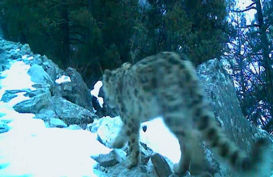 इस सीजन गंगोत्री नेशनल पार्क में लगे ट्रैप कैमरों में ज्यादा बर्फबारी के कारण अधिकतर कैमरे बर्फ से ढक गए थे. लेकिन जो कैमरे सुरक्षित रहे, उनमें स्नो लेपर्ड की फैमिली अच्छी संख्या में देखी गई है. यह भारतीय वन्यजीव संस्थान और सिक्योर हिमालय प्रोजेक्ट के लिए अच्छे संकेत हैं.