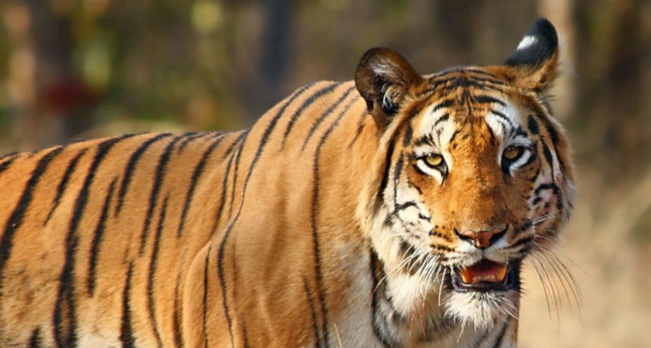 chhattisgarh news, छत्तीसगढ़ latest news, छत्तीसगढ़ समाचार, Chhattisgarh samachar,Chhattisgarh news in hindi, bilaspur, bilaspur news, Chhattisgarth high court, Chhattisgarth high court decision, Chhattisgarth high court decision on Indravati Tiger Reserve's buffer zone area , Indravati Tiger Reserve, छत्तीसगढ़ हाईकोर्ट, छत्तीसगढ़ हाईकोर्ट का फैसला, इंद्रावती टाइगर रिजर्व पर कोर्ट का  फैसला