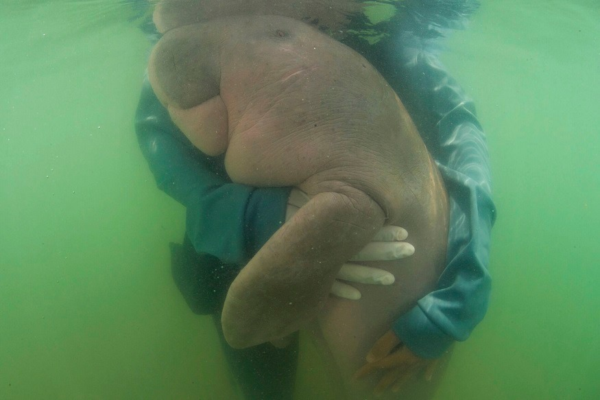 story of mariyam and willi baby dugong found in thailand which have helped spread ocean conservation