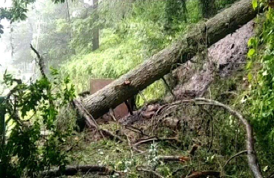 शिमला - पेड़ गिरे - Shimla - trees fell