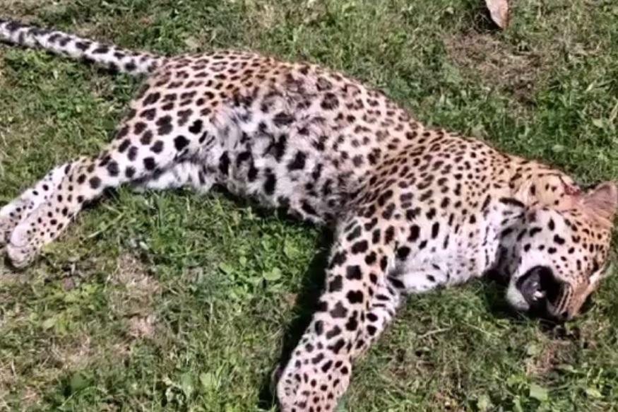 पौड़ी. पौड़ी ज़िले (Pauri District) के पाबौं ब्लॉक (Pabon Block) स्थित किलभौंरी गांव (Killbhaunri Village) में 2 अक्टूबर को 10 साल की बच्ची को शिकार बनाने वाले आदमखोर गुलदार (Man Eater Leopard) को आखिरकार शिकारी विपिन ख्याली (Hunter Vipin Khyali) और अज़हर खान (Azhar Khan) ने मार गिराया. पांच दिन से आदमखोर की तलाश कर रहे शिकारी दल को कल शाम गांव के पास जैसे ही गुलदार दिखा उन्होंने उस पर गोली चला दी. लेकिन गोली लगने से घायल गुलदार जंगल में भाग निकला. रात होने की वजह से शिकारियों ने अभियान सुबह चलाने का फ़ैसला किया. आज सुबह गुलदार दिखा तो शिकारी अज़हर खान ने उसे गोली मार दी. गुलदार वहीं ढेर हो गया.
