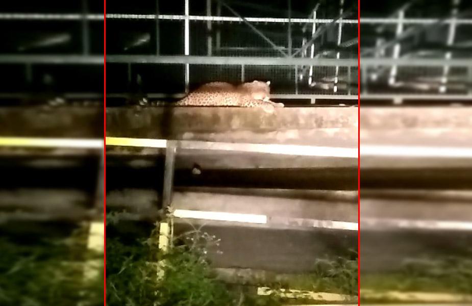 गुलदार-leopard