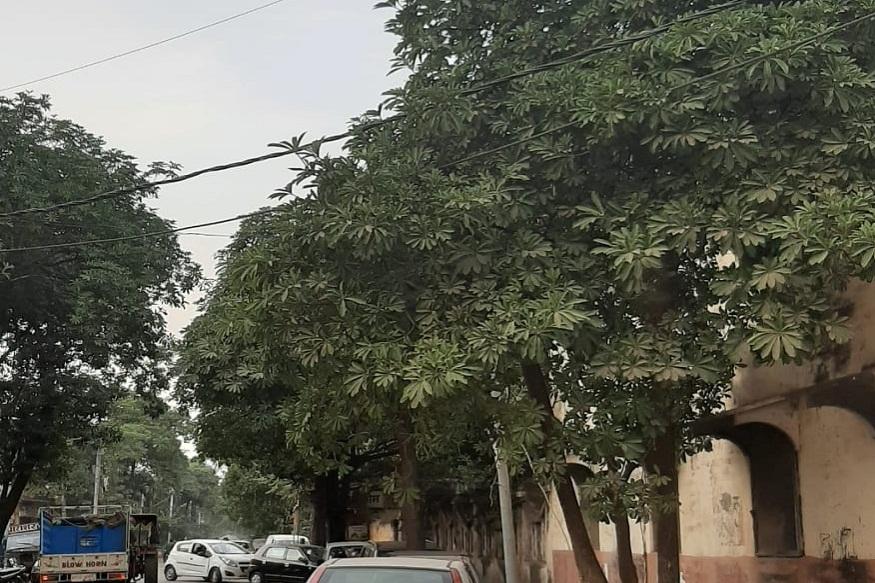 News - इन पेड़ों की वजह से लोगों को सांस लेने में परेशानी होती है