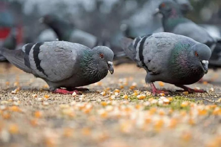 कबूतर फैला रहे हैं ये खतरनाक बीमारी, 200 से ज्यादा लोग हुए शिकार |  delhi-ncr - News in Hindi - हिंदी न्यूज़, समाचार, लेटेस्ट-ब्रेकिंग न्यूज़  इन हिंदी