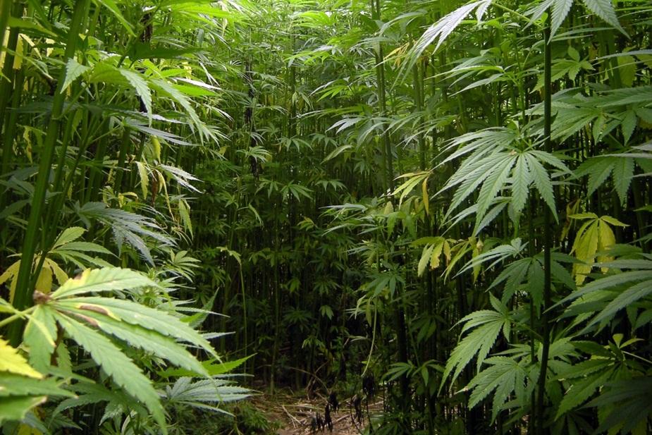 पड़ोसी राज्य उत्तराखंड में भांग की खेती को वैध किया गया है.