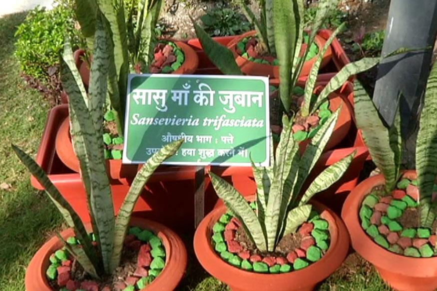 औषधीय उद्यान में लगे 'सासु मां की जुबान' पौधे