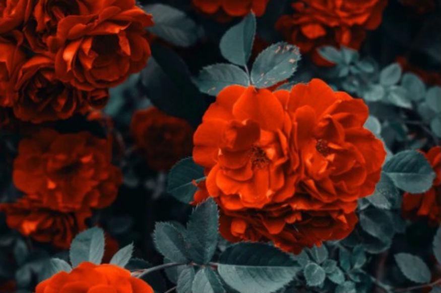 लाल गुलाब को भी प्यार का प्रतीक माना जाता है