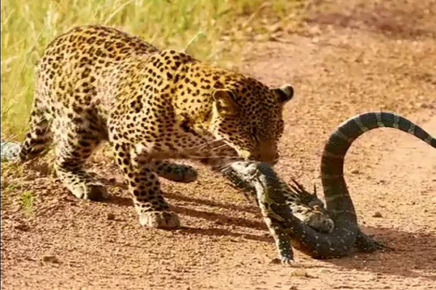 Leopard Vs Monitor Lizard, Zambia, Viral Video, Kainngu Safari Lodge, Leopard Fight, Monitor Lizard Fight, जंगली छिपकली, परवीन कासवान, वायरल वीडियो, वायरल न्यूज