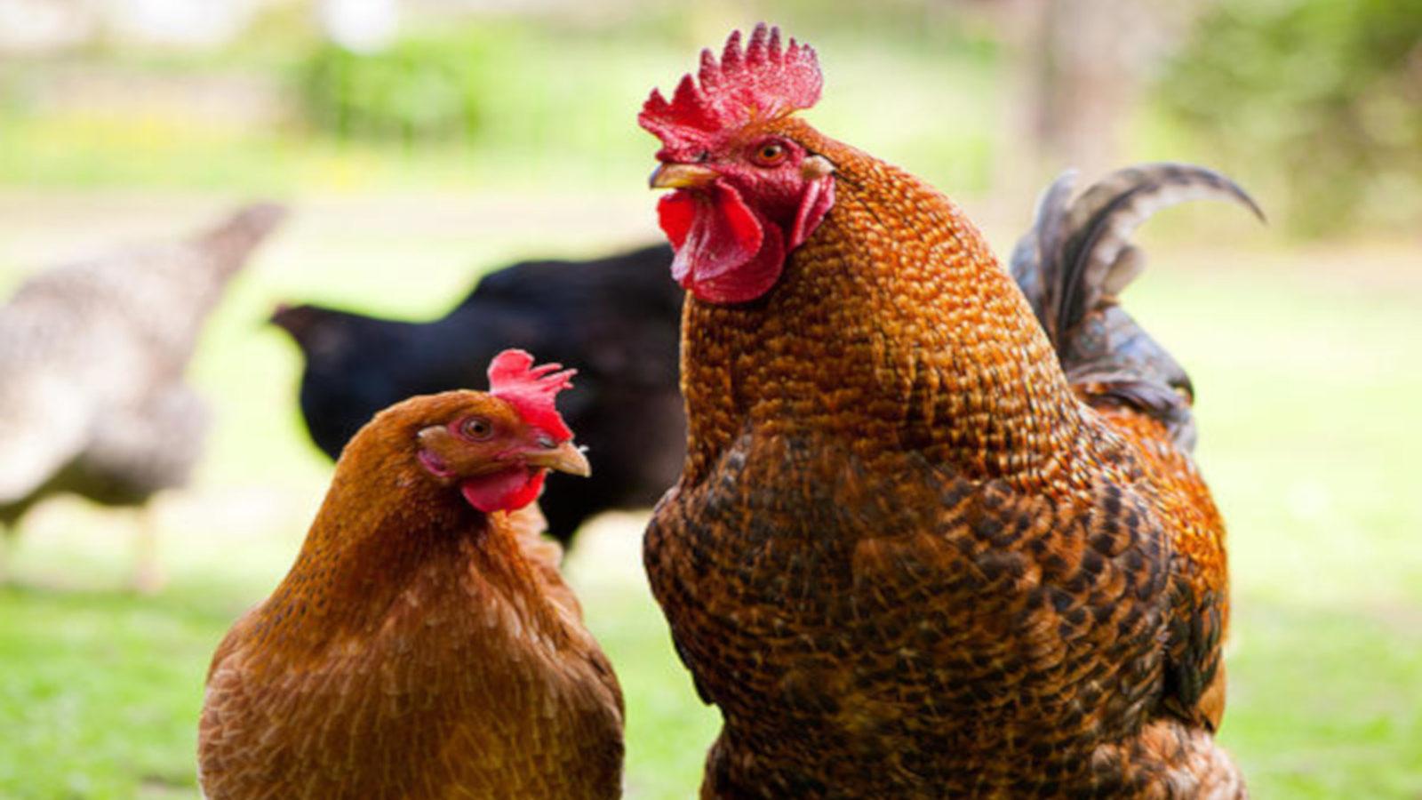 Jabalpur News: मुर्गों के खाने में भी बड़ा भ्रष्टचार, क्राइम ब्रांच ने मारा छापा, पढ़ें- हैरान करने वाली हकीकत