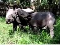 rhinos calf: असम में आई जबरदस्त बाढ़ में यह दोनों नवजात गैंडे बह गए थे. जिंदा बचने की उम्मीद कम थी. वाइल्ड लाइफ रेस्क्यू टीम ने दोनों को बचाया. फिर वेटरनेरी अस्पतालमें आईसीयू में रखा गया. ये दोनों महज सात दिन के हैं. बाढ़ ने उनकी मां को छीन लिया और दोनों को अनाथ कर दिया.