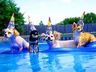 Dog birthday party: कैलिफोर्निया में डॉग बर्थ-डे पार्टी. पार्टी के साथ पूल में इंजॉय भी. वाह पार्टी हो तो ऐसी हो. अमेरिका और यूरोप में पूल बुकिंग करके ऐसी पार्टियां करने पर हजारों लाखों रुपए खर्च हो जाते हैं.